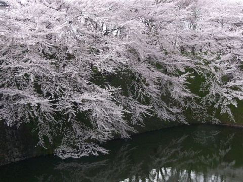 山形霞城公園の桜[1].JPG